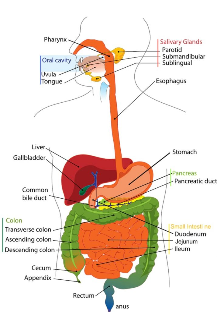 Organs in the upper body